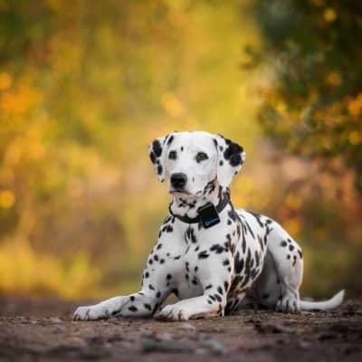 tractive-gps-3g-dogtracker-dalmatian-dog-400w